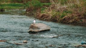 Small tern Sternula albifrons, takes off from a mountain river slow mo shoot. Small tern Sternula albifrons, takes off from a mountain river 4k slow mo shoot stock footage