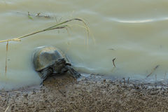 Small terrapin in dirty water Royalty Free Stock Photography
