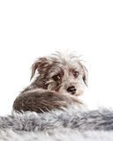 Small Terrier Dog Laying Looking Back Royalty Free Stock Image
