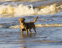 Small Terrier dog at the seaside Stock Image