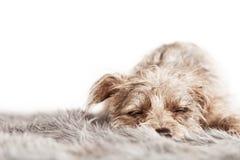 Small Terrier Dog Sleeping on Fur Blanket stock image