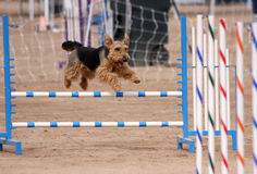 Small Terrier flying over a jump. Small black and tan terrier flying over a jump in an agility course stock image