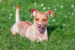 Small terrier on the green grass. Small terrier playing on the green grass royalty free stock photos