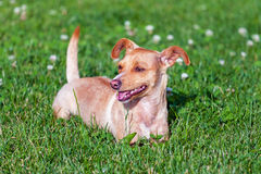 Small terrier on the green grass Royalty Free Stock Photography