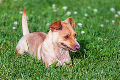 Small terrier on the green grass. Small terrier playing on the green grass stock images