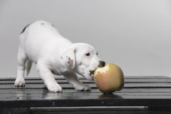 Small terrier puppy with big red apple. In studio stock photo