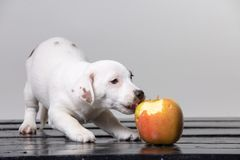 Small terrier puppy with big red apple. In studio royalty free stock photo