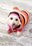 Small terrier wearing winter fashion. A small maltese terrier wearing winter fashion and sitting on old timber floorboards Stock Photo