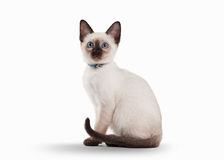Small Thai cat on white background Stock Image