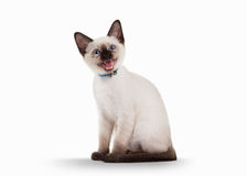 Small Thai cat on white background Royalty Free Stock Photography