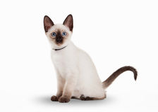 Small Thai cat on white background Royalty Free Stock Image