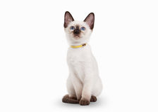 Small Thai cat on white background Royalty Free Stock Images