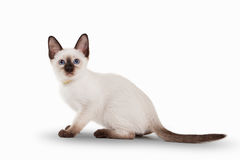 Small Thai cat on white background Stock Images