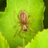 Small thick spider on green leaf Stock Photography