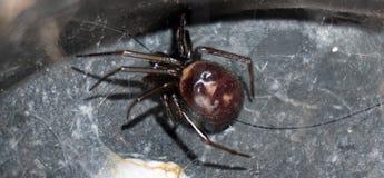 Fake widow common spider