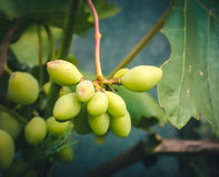 Small thin vine holds a bunch of grapes Royalty Free Stock Photo