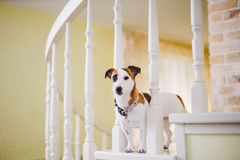 Small, thoroughbred, black and white brown dog in the house. Dog with black eye Stock Photos