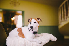 Small, thoroughbred, black and white brown dog in the house. Dog with black eye Royalty Free Stock Photos
