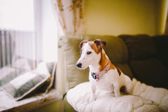 Small, thoroughbred, black and white brown dog in the house Royalty Free Stock Photo