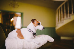 Small, thoroughbred, black and white brown dog in the house. Dog with black eye Royalty Free Stock Images