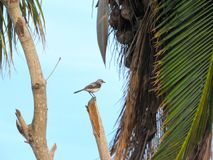 Small Thrasher perched neara decaying Coconut Tree. Semi-distant shot of a small gray Thrasher bird perched on a tree stump before an old decaying Coconut Tree Royalty Free Stock Photo