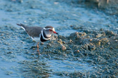 Small three banded plover wading on muddy shore of a pond Stock Images