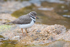 Small three banded plover wading on the muddy shore of pond Stock Image