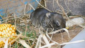 Small three day newborn blind rabbit walks in the sun in a cage stock video footage