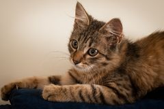 One Small three month kitten mixed breed stock image
