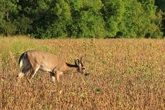 Whitetail Velvet Deer Buck Feeds in a Bean Field. A small three point velvet whitetail deer buck feeds in a bean field during late summer Stock Photos