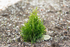 The small thuja stock photo