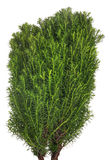 Small thuja isolated on white. Green small thuja isolated on white background Stock Photos