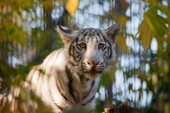 Small tiger Stock Photos