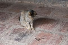 Small tiger cat sitting observing its large moth prey royalty free stock photo