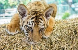 Small tiger cub. Close up Stock Photography