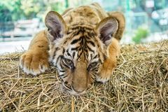 Small tiger cub Stock Image