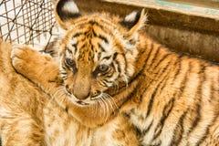 Small tiger cub. Close up Royalty Free Stock Image