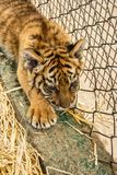 Small tiger cub. Close up Royalty Free Stock Photography