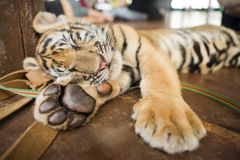 A small tiger resting Royalty Free Stock Photos