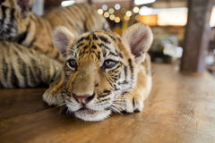 A small tiger resting Stock Photos