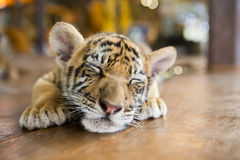 A small tiger resting Stock Image