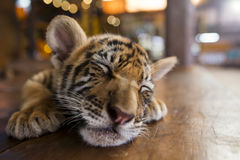 A small tiger resting Royalty Free Stock Photo