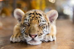 A small tiger resting Royalty Free Stock Photography