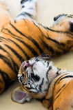 Small tigers Royalty Free Stock Photos