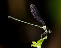 Small tiny colorful dragonfly Royalty Free Stock Image
