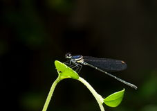 Small tiny colorful dragonfly Royalty Free Stock Photos