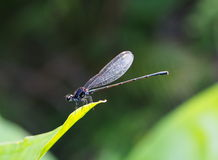 Small tiny colorful dragonfly Stock Photo