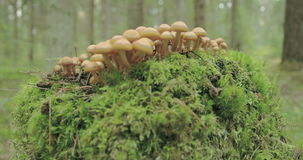 Small tiny honey fungus growing on the trunk FS700 4K stock footage