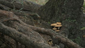 Small tiny mushrooms growing on the tree trunk. Small mushrooms in autumn forest stock video
