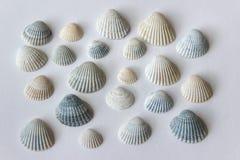 Small tiny seashells. Small seashells from Baltic sea  seaside on white background. Many tiny bluish and yellow grooved seashells stock image